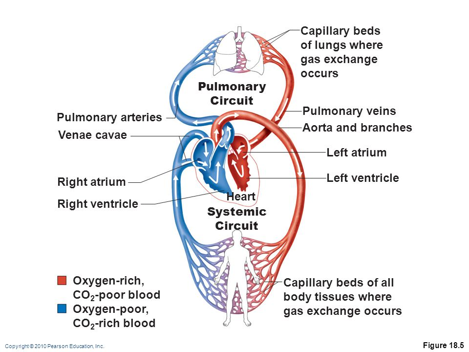 Capillary beds of lungs where gas exchange occurs Pulmonary Circuit