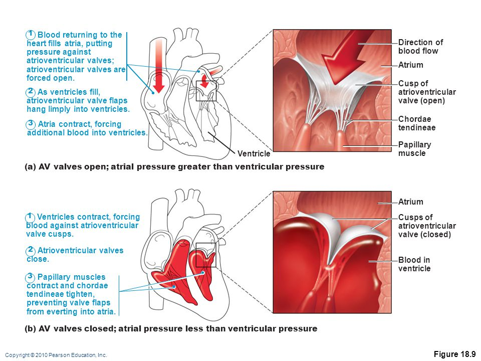 heart fills atria, putting pressure against atrioventricular valves;