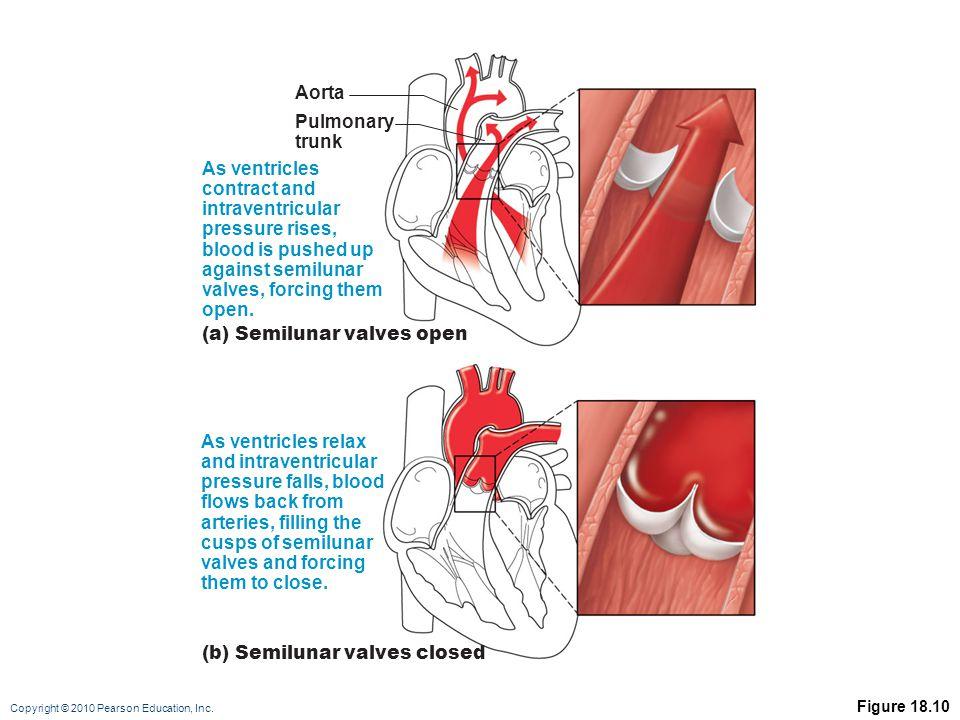 (a) Semilunar valves open