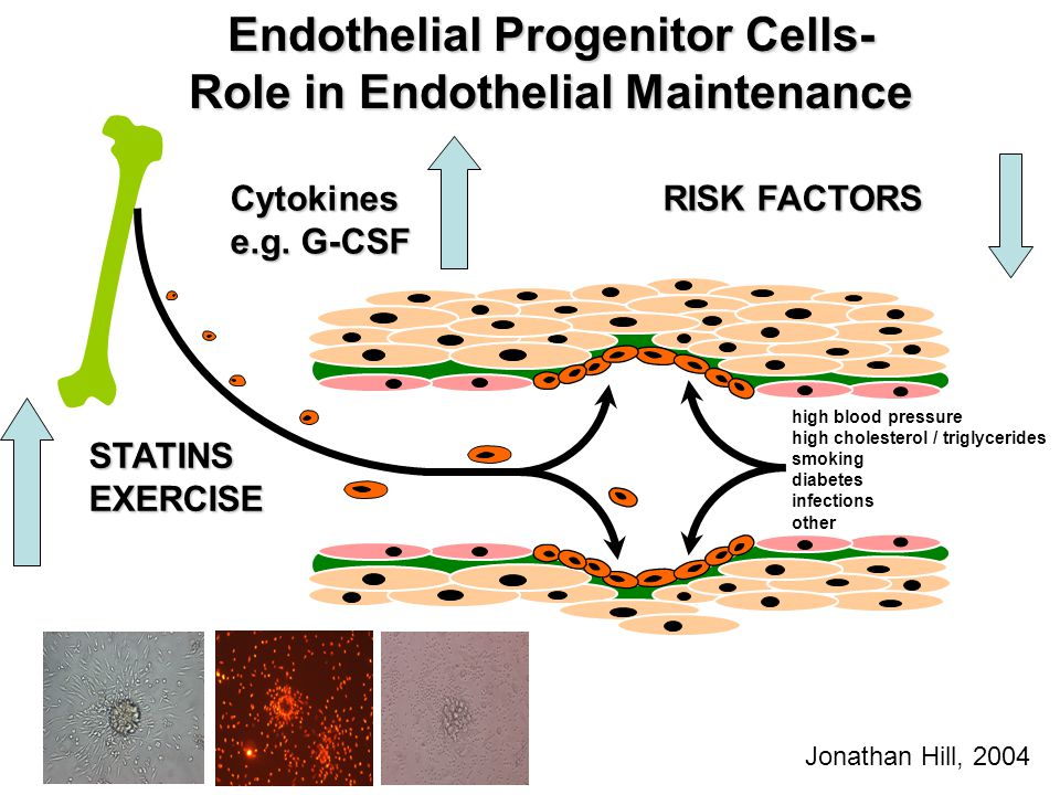 Endothelial Progenitor Cells- Role in Endothelial Maintenance