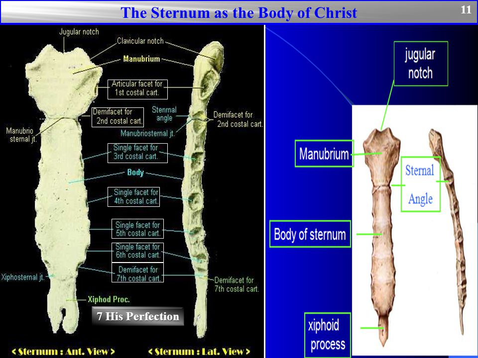 The Sternum as the Body of Christ