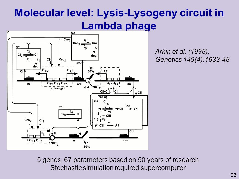 Molecular level: Lysis-Lysogeny circuit in Lambda phage