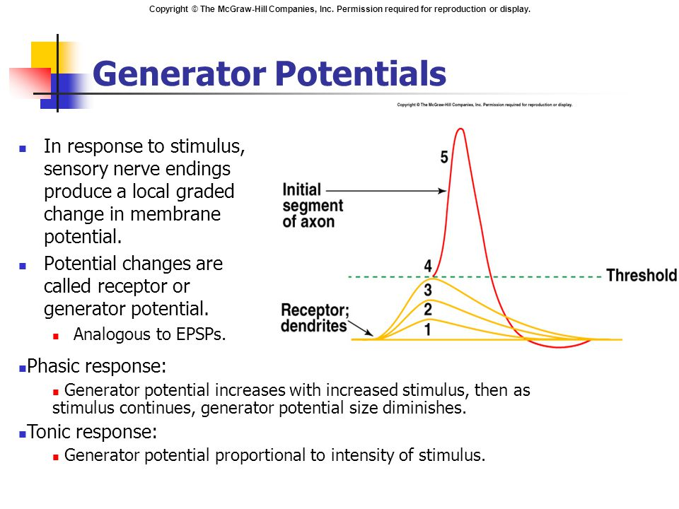 Generator Potentials In response to stimulus, sensory nerve endings produce a local graded change in membrane potential.