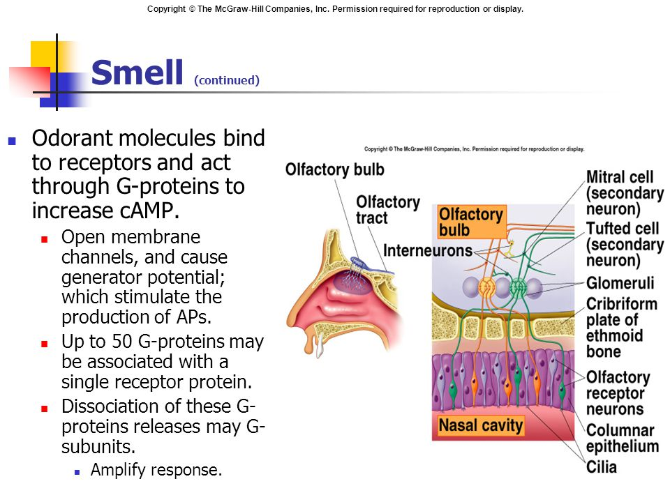 Smell (continued) Odorant molecules bind to receptors and act through G-proteins to increase cAMP.