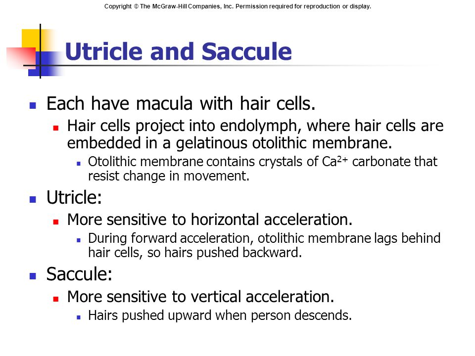 Utricle and Saccule Each have macula with hair cells. Utricle: