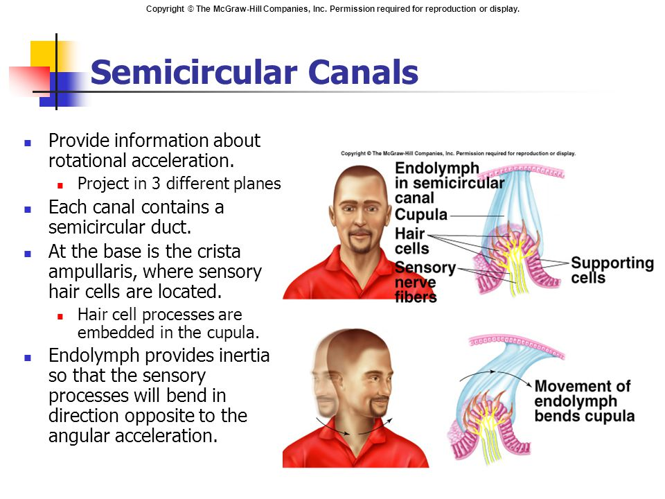 Semicircular Canals Provide information about rotational acceleration.