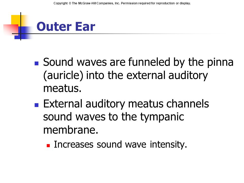 Outer Ear Sound waves are funneled by the pinna (auricle) into the external auditory meatus.