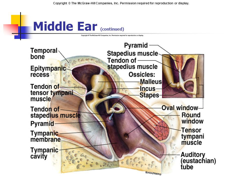 Middle Ear (continued)