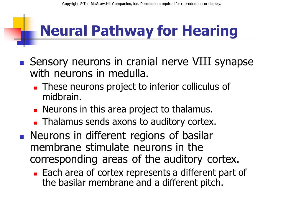 Neural Pathway for Hearing