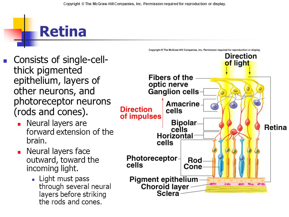 Retina Consists of single-cell-thick pigmented epithelium, layers of other neurons, and photoreceptor neurons (rods and cones).