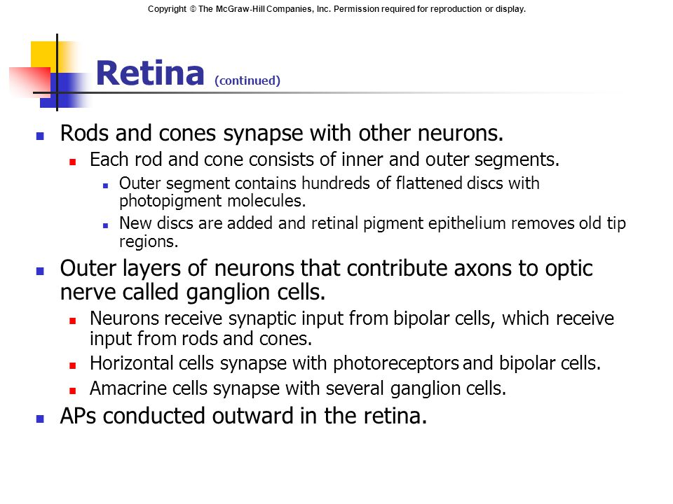 Retina (continued) Rods and cones synapse with other neurons.