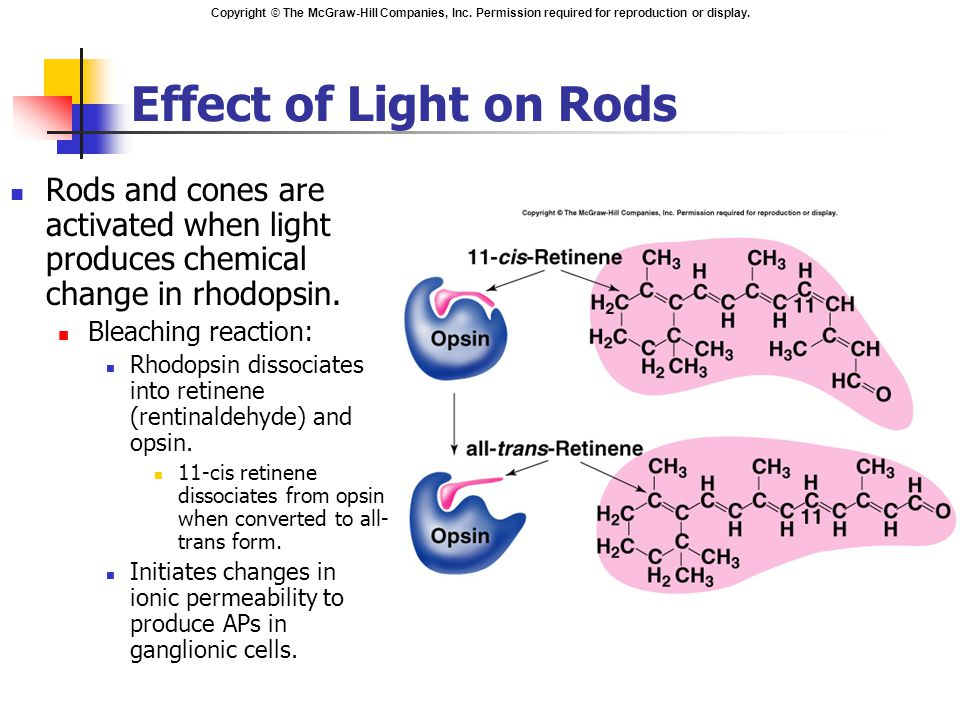 Effect of Light on Rods Rods and cones are activated when light produces chemical change in rhodopsin.
