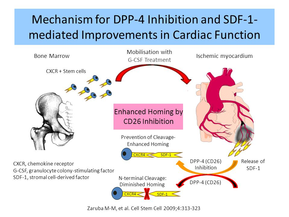 Mechanism for DPP-4 Inhibition and SDF-1-mediated Improvements in Cardiac Function