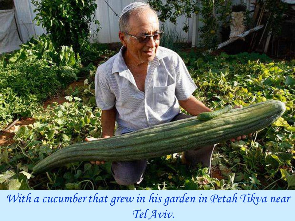 With a cucumber that grew in his garden in Petah Tikva near Tel Aviv.