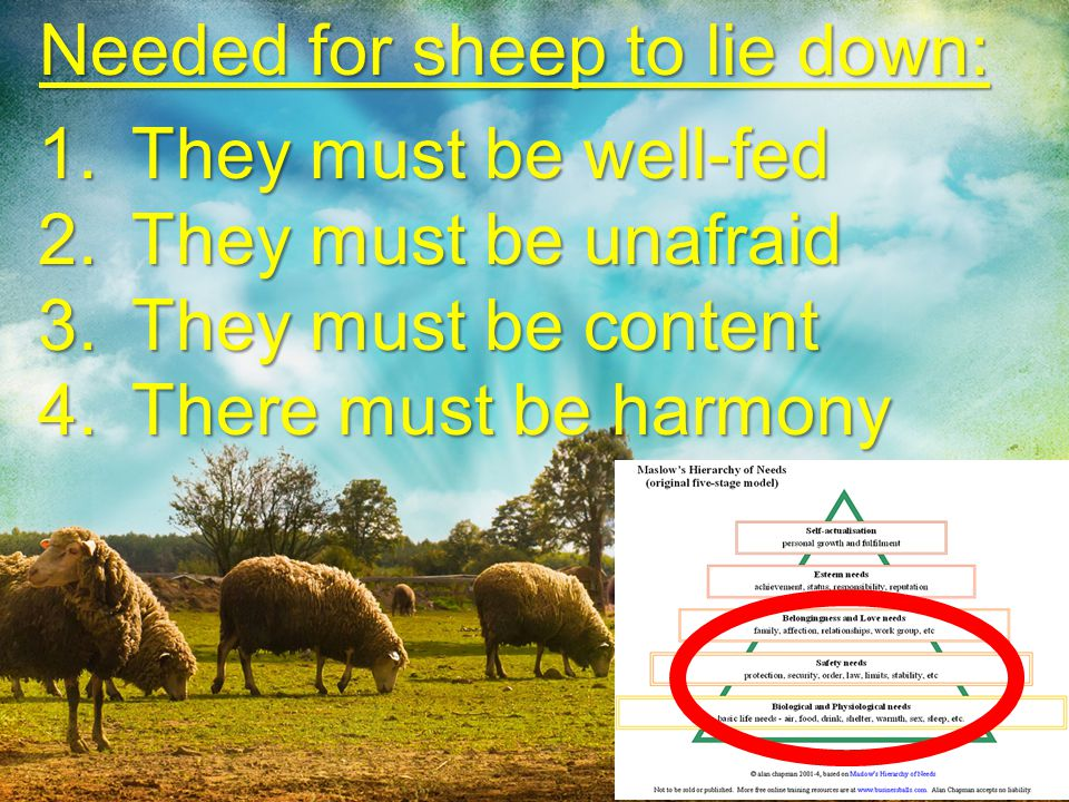 Needed for sheep to lie down: They must be well-fed
