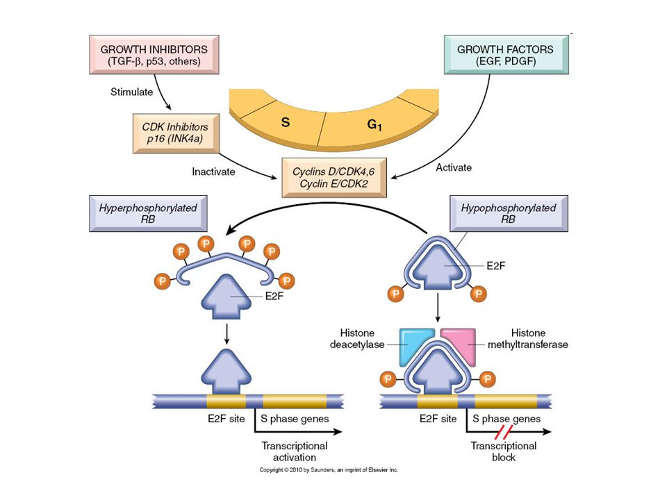 The role of RB in regulating the G1-S checkpoint of the cell cycle