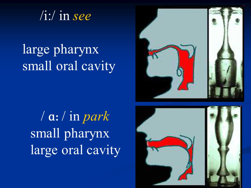 /i:/ in see large pharynx small oral cavity / ɑ: / in park small pharynx large oral cavity