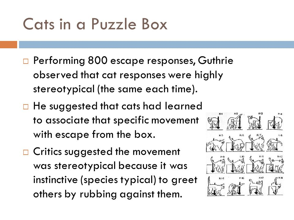 Cats in a Puzzle Box Performing 800 escape responses, Guthrie observed that cat responses were highly stereotypical (the same each time).