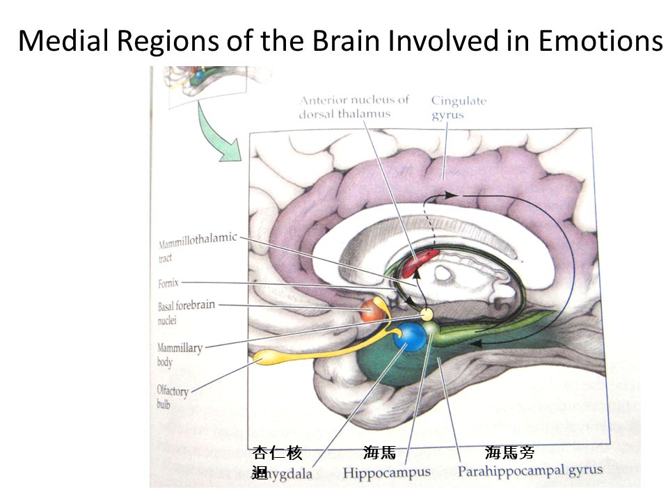 Medial Regions of the Brain Involved in Emotions