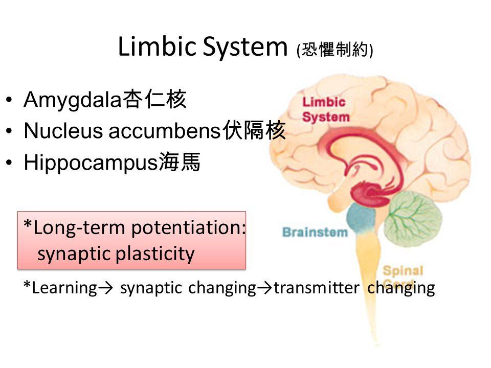 Limbic System (恐懼制約) Amygdala杏仁核 Nucleus accumbens伏隔核 Hippocampus海馬