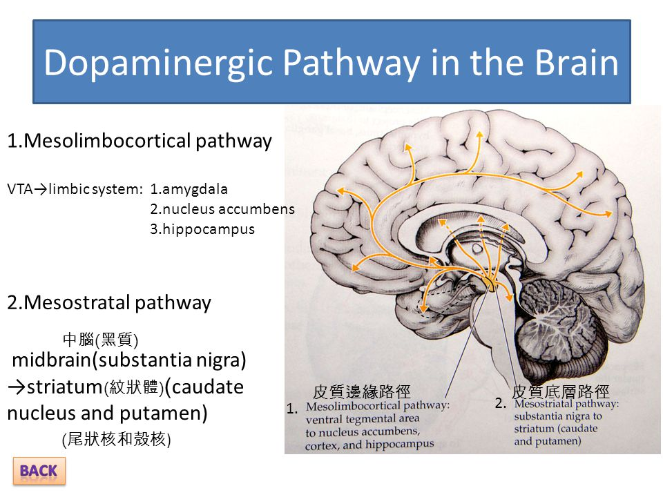 Dopaminergic Pathway in the Brain