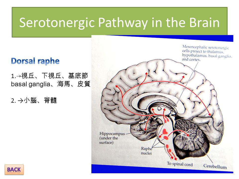 Serotonergic Pathway in the Brain