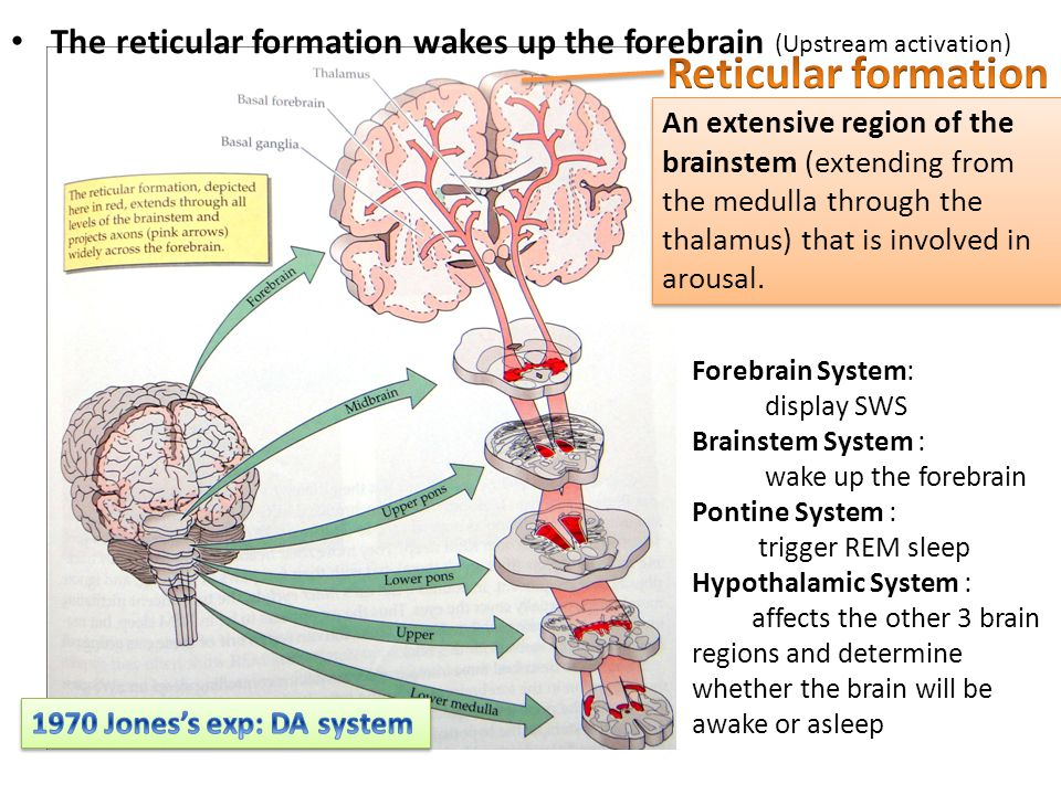Reticular formation The reticular formation wakes up the forebrain