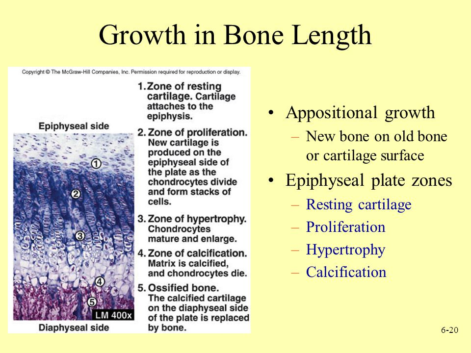 Growth in Bone Length Appositional growth Epiphyseal plate zones