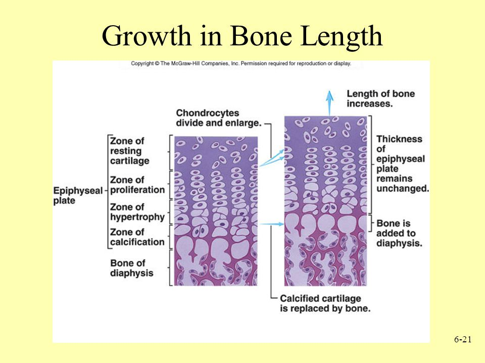 Growth in Bone Length
