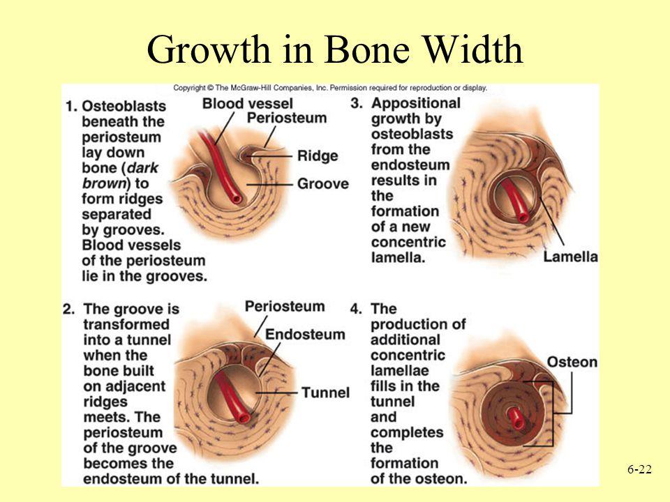 Growth in Bone Width
