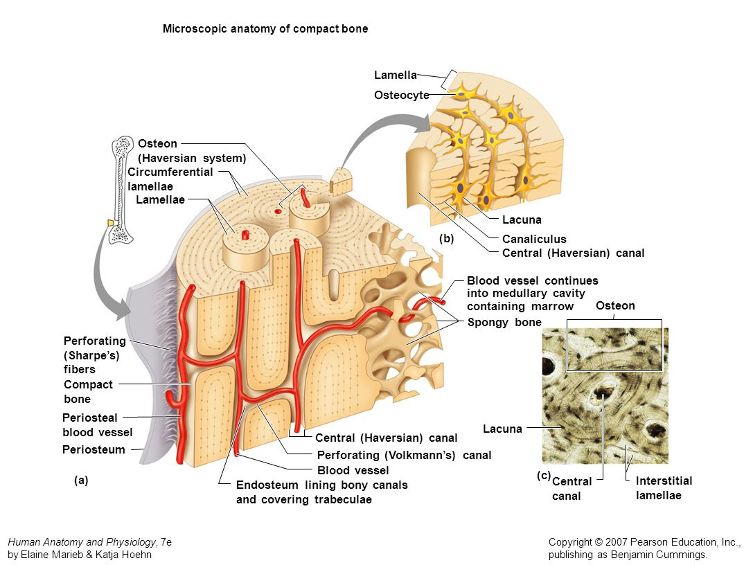 Microscopic anatomy of compact bone