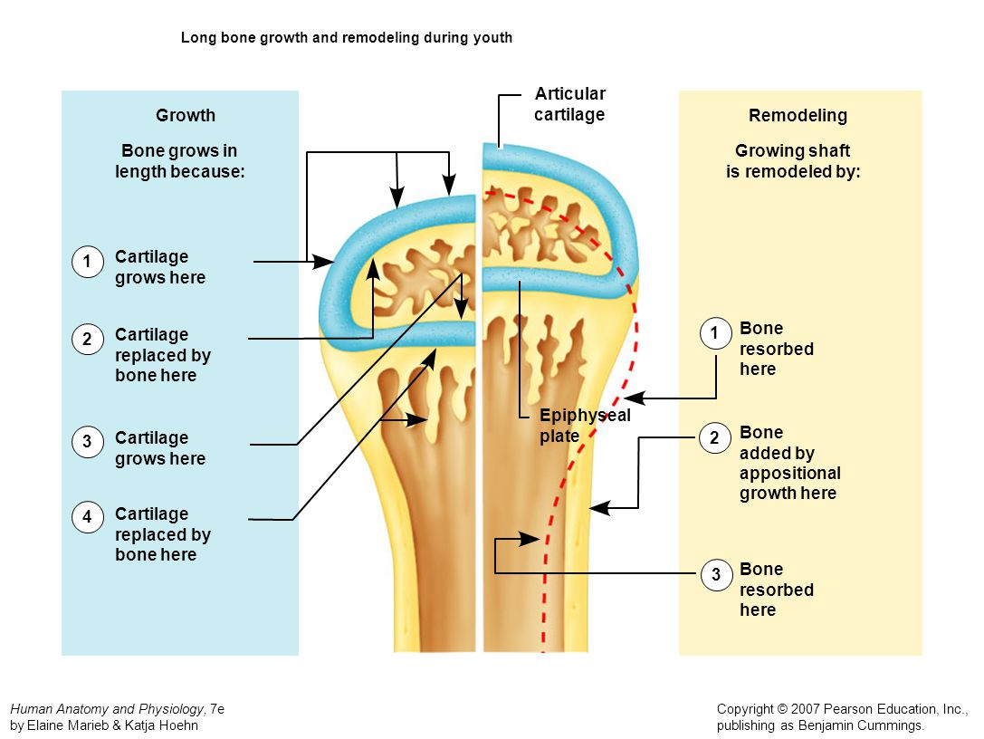 Long bone growth and remodeling during youth