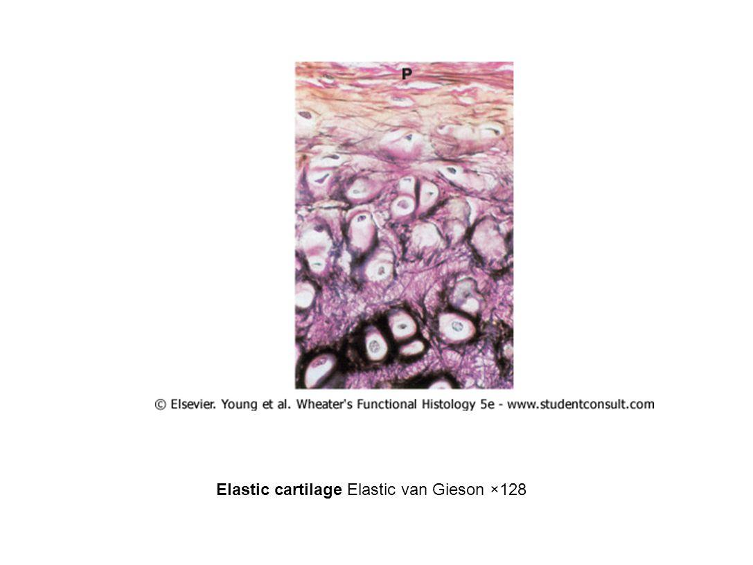 Elastic cartilage Elastic van Gieson ×128
