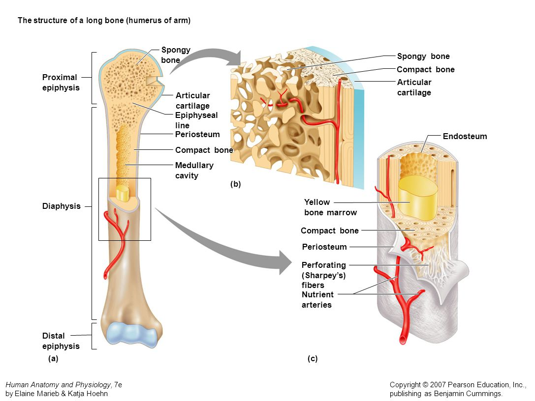 The structure of a long bone (humerus of arm)