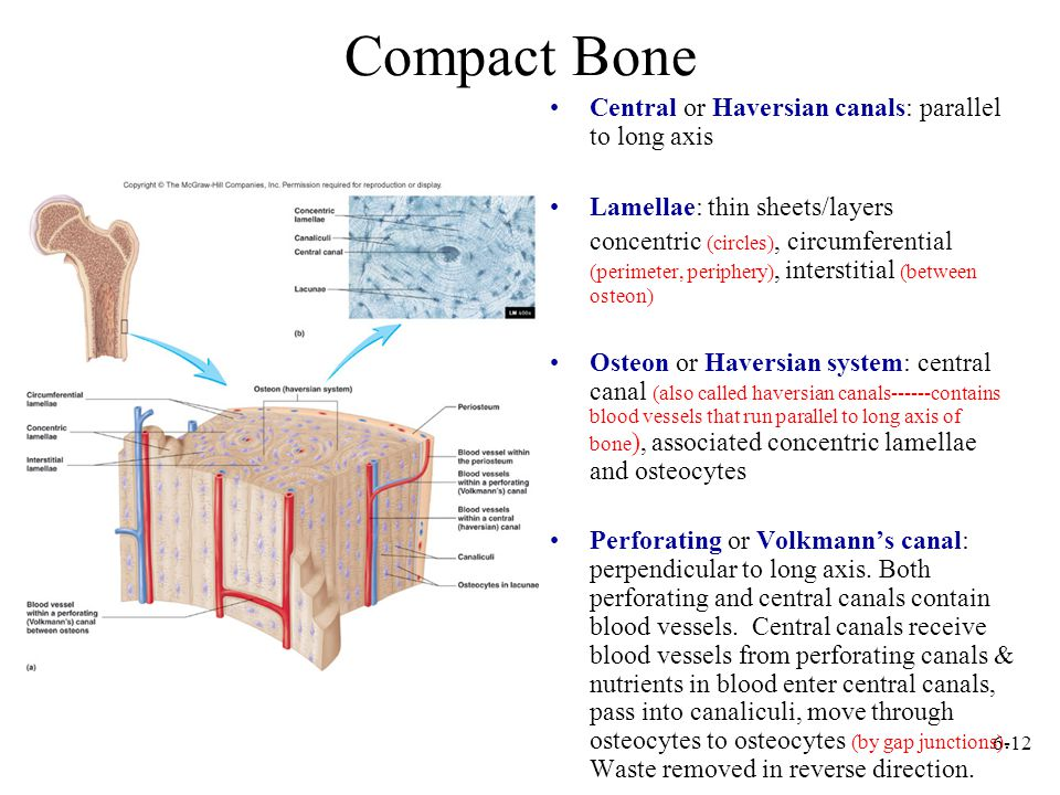 Compact Bone Central or Haversian canals: parallel to long axis