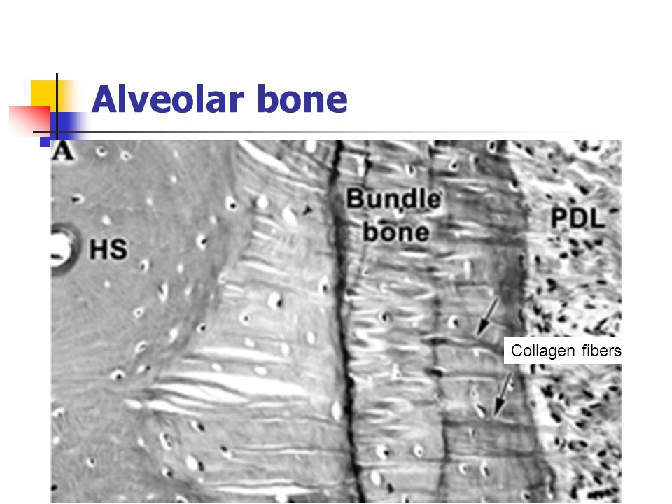 Alveolar bone Collagen fibers
