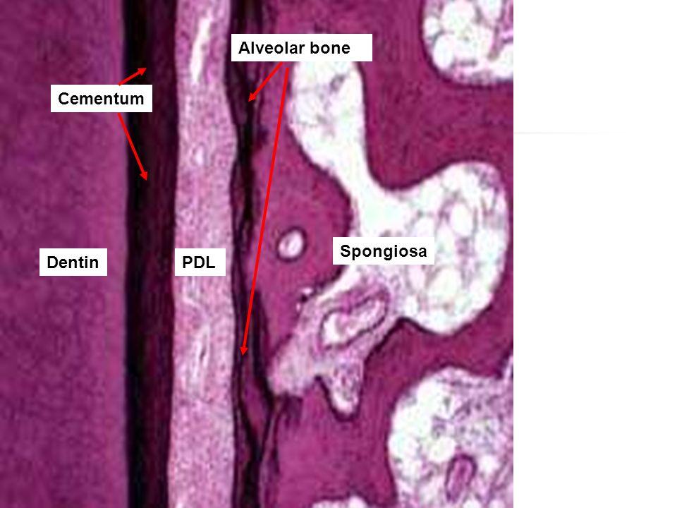 Alveolar bone Cementum Spongiosa Dentin PDL