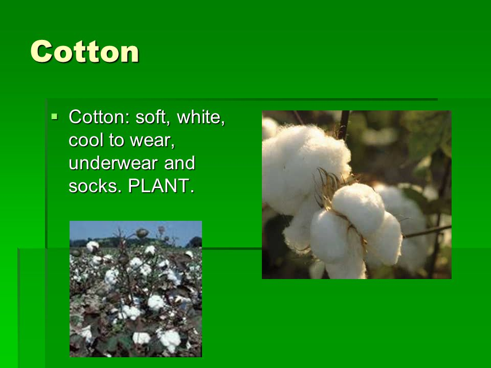 Cotton Cotton: soft, white, cool to wear, underwear and socks. PLANT.
