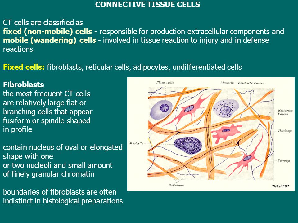 CONNECTIVE TISSUE CELLS