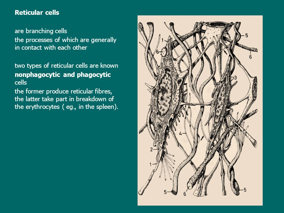Reticular cells are branching cells. the processes of which are generally in contact with each other.