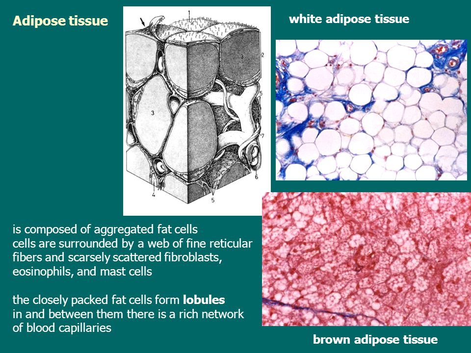 Adipose tissue white adipose tissue