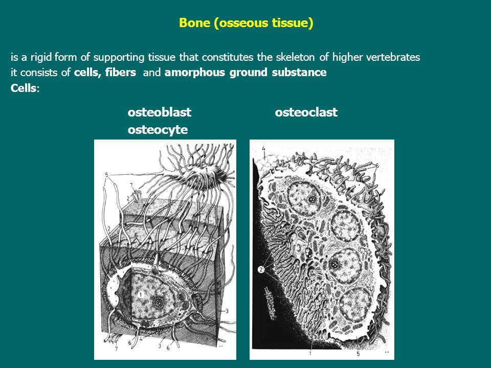 osteoblast osteoclast osteocyte