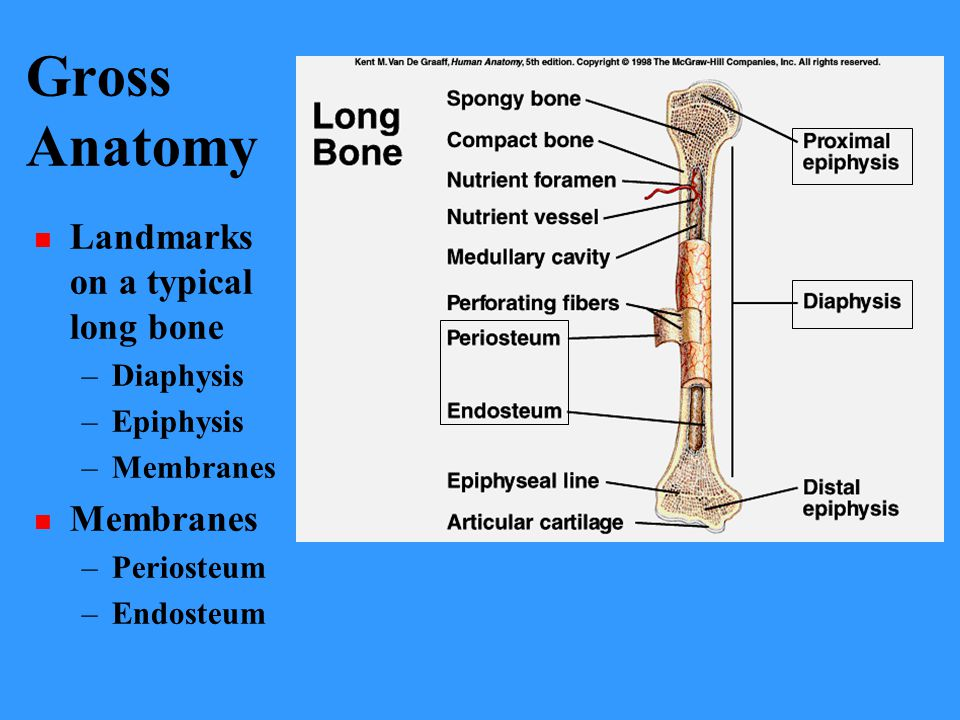 Gross Anatomy Landmarks on a typical long bone Diaphysis Epiphysis