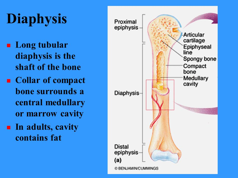 Diaphysis Long tubular diaphysis is the shaft of the bone