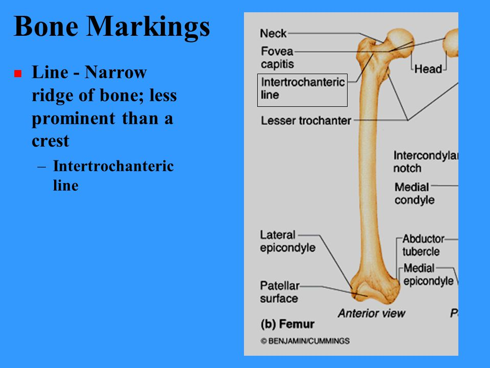 Bone Markings Line - Narrow ridge of bone; less prominent than a crest
