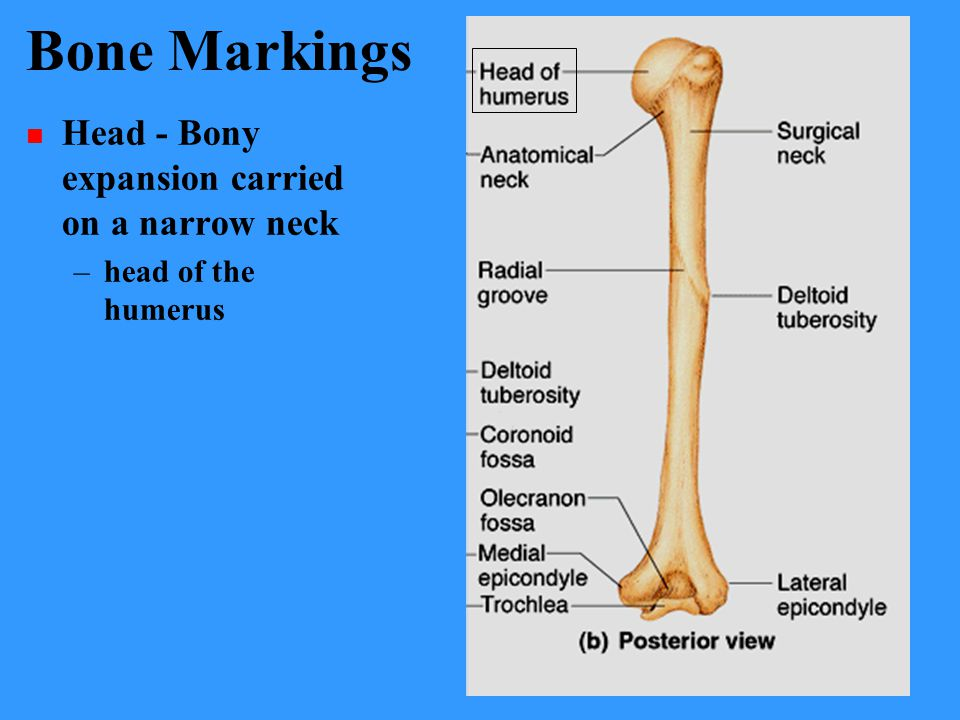 Bone Markings Head - Bony expansion carried on a narrow neck