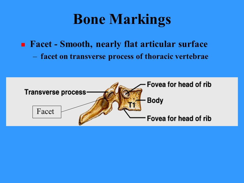 Bone Markings Facet - Smooth, nearly flat articular surface
