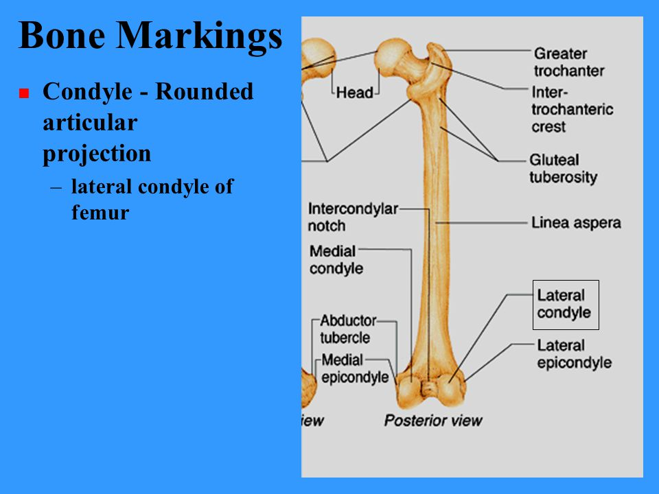 Bone Markings Condyle - Rounded articular projection