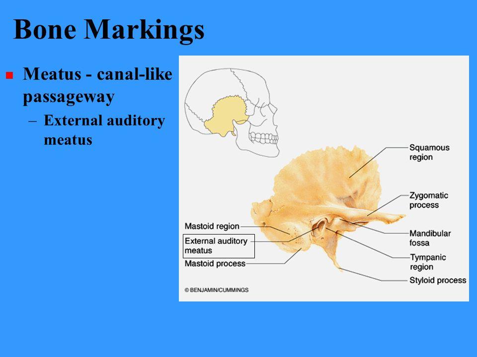 Bone Markings Meatus - canal-like passageway External auditory meatus