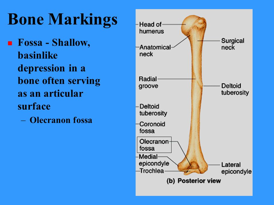 Bone Markings Fossa - Shallow, basinlike depression in a bone often serving as an articular surface.